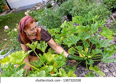 Woman harvesting zucchinis in her garden