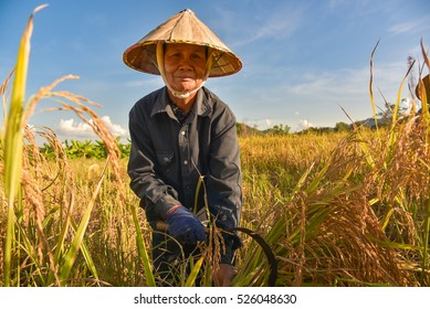 woman harvests rice on terraced paddy field in Mu Cang Chai district.