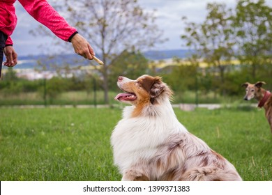 Woman and her dog doing animal obedience training. Cute Australian Shepherd outdoors. Animal trainer giving snack reward to dog after training.