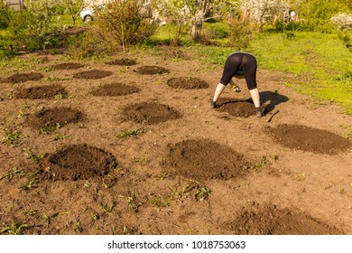 A woman in her summer cottage bending over on the garden planting melons and melons melons and melons. A sunny day.