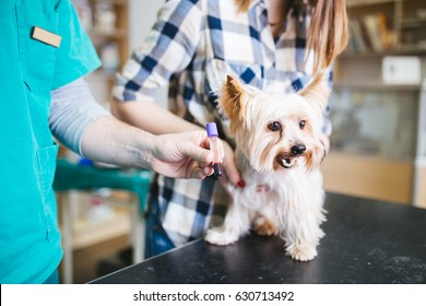 Woman with her Yorkshire terrier at veterinary. Vet taking blood test of dog. Selective focus.