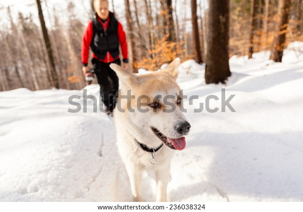 Woman hiking with akita dog on white snow, forest in winter mountains with woman in the background. Travel together with animal pet friend