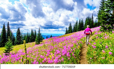 Woman hiking through alpine meadows covered in pink fireweed wildflowers in the high alpine near the village of Sun Peaks, in the Shuswap Highlands in central British Columbia Canada