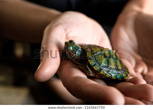 Woman hold a turtlet in her hand above view . The turtlet is two month old.