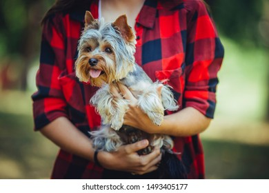 Woman holding beautiful Yorkshire terrier puppy  in hands