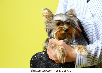 Woman holding black bag with Adorable Yorkshire terrier on yellow background, space for text. Cute dog
