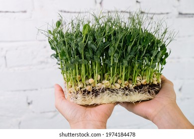 Woman holding box with microgreen, Small business indoor vertical farm. Close-up of healthy vegetarian vitamin fresh food. Microgreens growing background with raw sprouts in female hands