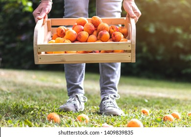 Woman holding crate full of fresh harvested apricot in garden. Picking organic fruit during harvesting season. Homegrown produce