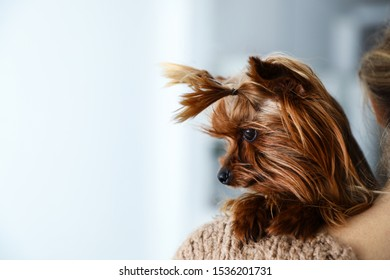 Woman holding cute Yorkshire terrier indoors, closeup. Happy dog
