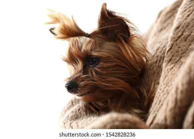 Woman holding cute Yorkshire terrier, closeup. Happy dog