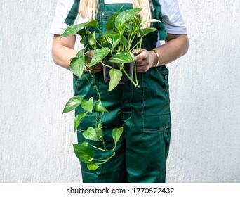 Woman holding an epipremnum plant.