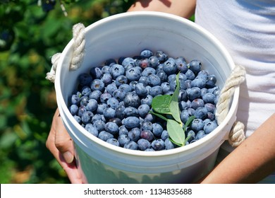 woman holding fresh picked blueberry in the container