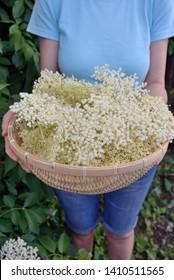 Woman Holding Freshly Picked Elderflower Cordial in Garden