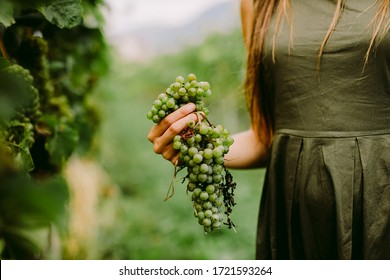 woman holding grape in wine yard. close up shot. Grape harvest.