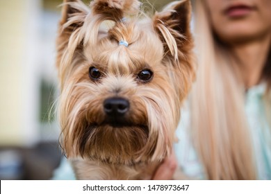 Woman holding hand a cute yorkshire terrier. Dog face closeup. Photo for veterinary, groomer and dog lover