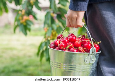 A woman is holding metal bucket with freshly picked cherries. A girl is holding a bucket with juicy ripe cherries.