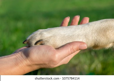 a woman holding a paw of a yellow labrador in a park in the summer. The concept of love, friendship, training, communication, teamwork, help