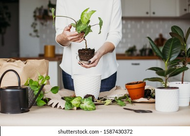 Woman holding plant, syngonium sprout. At home white kitchen on background. Life concept, femininity symbol