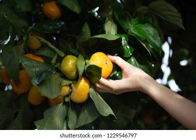 woman holding ripe persimmons fruit on the tree