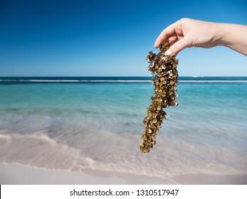 Woman holding sargassum seaweed on tropical beach. Caribbean ecology problem