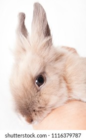 Woman holding a small funny dutch rabbit (isolated on white background)