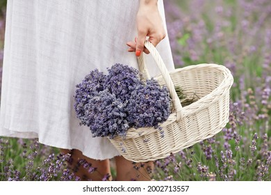 Woman holding straw trunk with lavender flowers. Summer time. Lavender field. Sweet June. Basket with lavender.
