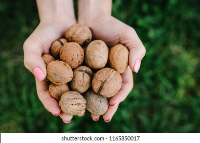 Woman holding whole walnut in her hands. Walnut isolated. Harvest. Whole walnut, healthy organic food concept. Top view. View above. flat lay.