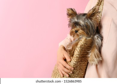 Woman holding wicker bag with adorable Yorkshire terrier on pink background, space for text. Cute dog