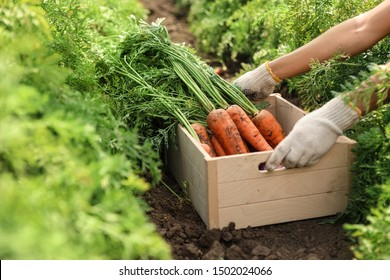 Woman holding wooden crate of fresh ripe carrots on field, closeup. Organic farming