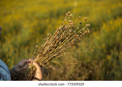 woman holds the dried flowers in yellow flowers field.