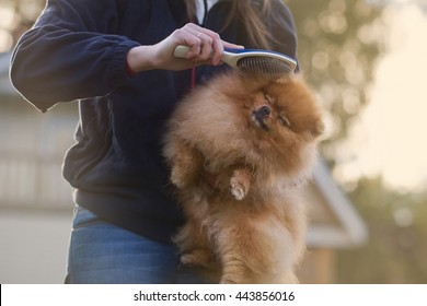 Woman holds puppy in her arms. Combing fur of Pomeranian spitz. Care for dog hair.