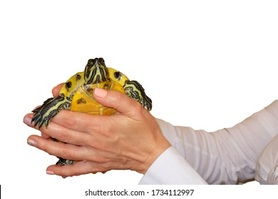 Woman holds a turtle in hands. Girl shows small tortoise with yellow belly on white isolated background. Care about lovely pet or veterinarian examination