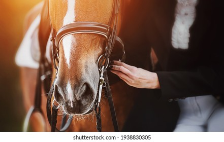 A woman in a horsewoman's costume adjusts the straps on the bridle worn on the muzzle of a sorrel horse with a white spot on its forehead, which is illuminated by bright sunlight. Equestrian sports.