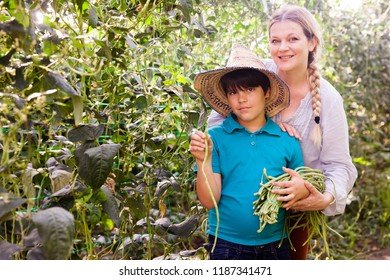 Woman horticulturist  with boy picking harvest of  chinese vigna  in greenhouse