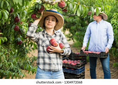 Woman horticulturist picking peaches from tree in garden, man on  background