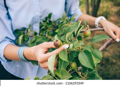 Woman horticulturist wearing blue shirt inspect ripening organic pears on tree. Close-up of female hand showing unripe green fruit on branch with leaves.