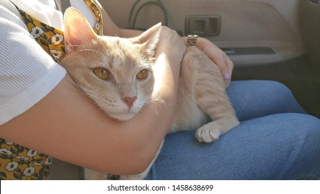 Woman is hugging an adorable bright orange young cat inside car for reducing cat stress during car ride.Transport a cute indoor cat ride in a car without a carrier.