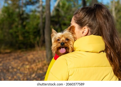woman hugs dog. Yorkshire Terrier breed. Domestic pet health. Puppy stuck out his tongue