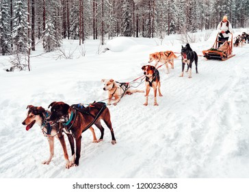 Woman at Husky dog sled in Finland in Lapland in winter.