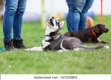 woman with a husky puppy at the puppy school on a dog training field