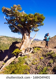 A woman with a large backpack hiking on a trail, past an ancient tree.