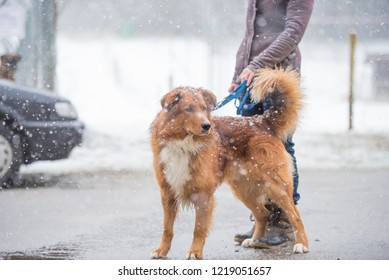 Woman with large dog is walking in winter on a snovy street