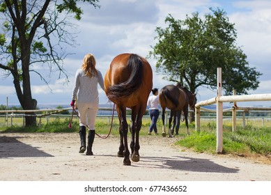 Woman leads horse to pasture. Equestrian horse with woman rider after training walk from paddock to pasture.
