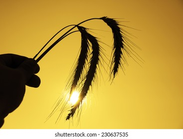 Woman or man hand holding three stalk wheat ears sunset sky sunrise orange sun rays light background Idea of raw materials for food, rich food harvest home heavy crop, harvesting, golden sunny spike