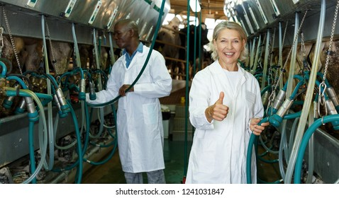 Woman milkmaid and man in bathrobe in barn  working with cow milking machines