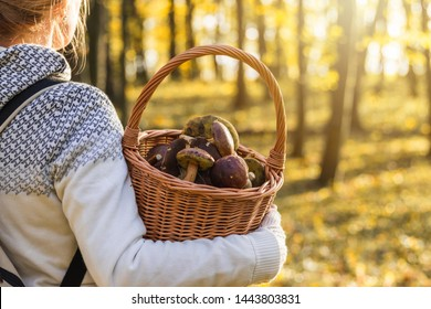 Woman with mushrooms in wicker basket in autumn forest. Harvesting edible mushroom in woodland. Fall season