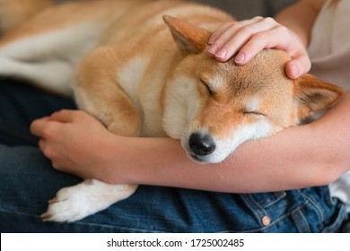 A woman petting a cute red dog Shiba inu, sleeping on her lap. Close-up. Trust, calm, care, friendship, love concept. Happy cozy moments of life. Stay at home concept