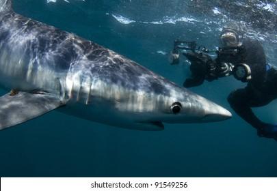a woman photographs a blue shark underwater