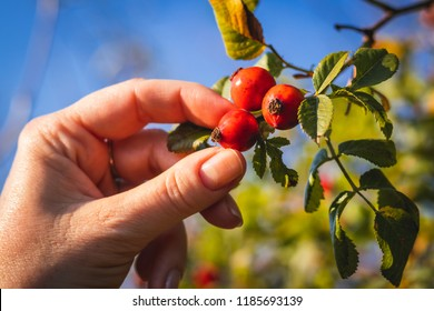 Woman picking berries of rose hip. Detail of female hand harvesting rose hip from uncultivated bush.