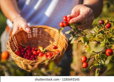 Woman picking berries of rose hip to wicker basket, seasonal harvest for alternative medicine.